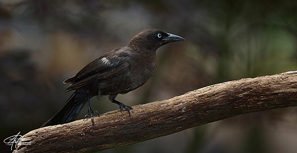 My Favourite D800 Images-grackle-1200px-.jpg