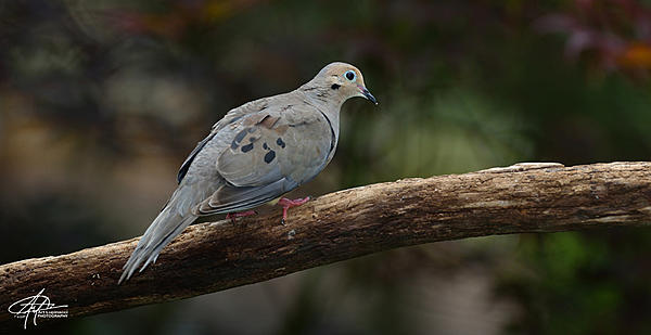 My Favourite D800 Images-mourning-dove-_01-900px-.jpg