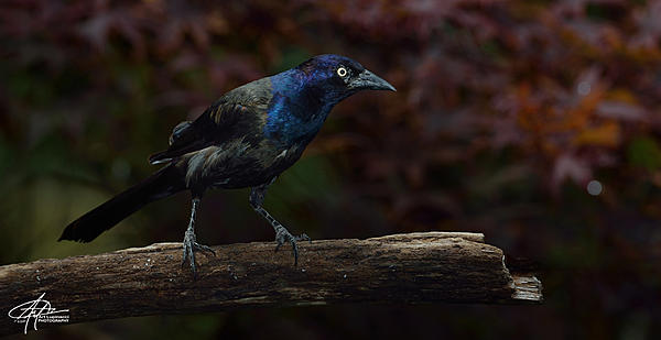 My Favourite D800 Images-grackle-f-900px-.jpg