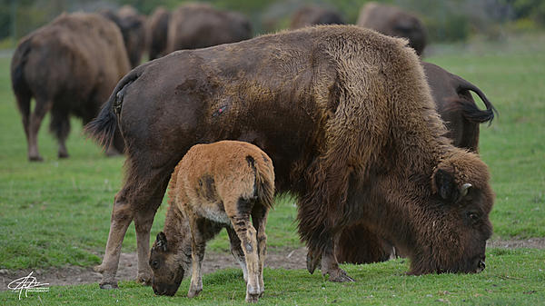My Favourite D800 Images-bison-900px-.jpg