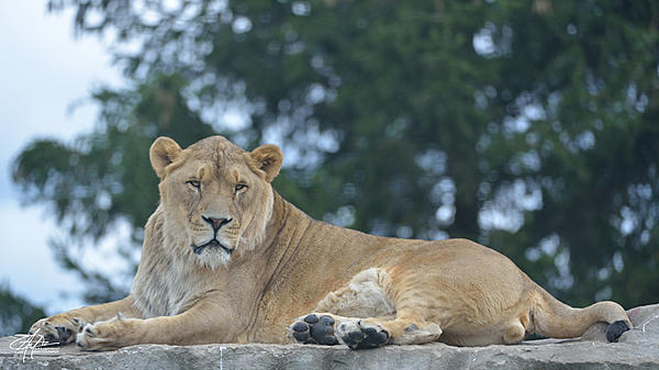 My Favourite D800 Images-lioness-01-900px-.jpg