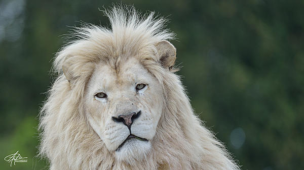 My Favourite D800 Images-white-lion-900px-.jpg