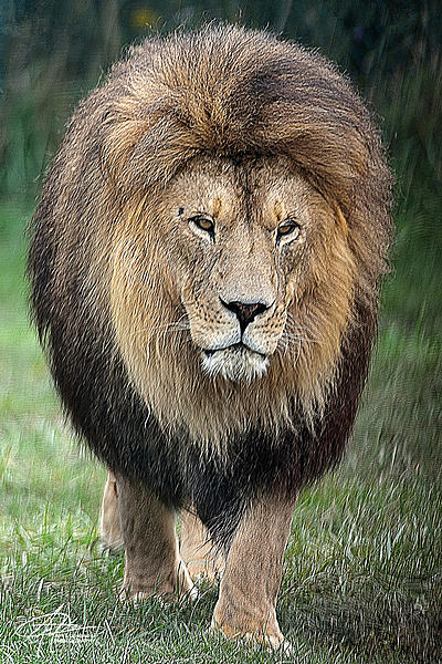 My Favourite D800 Images-king-beasts-900px-.jpg