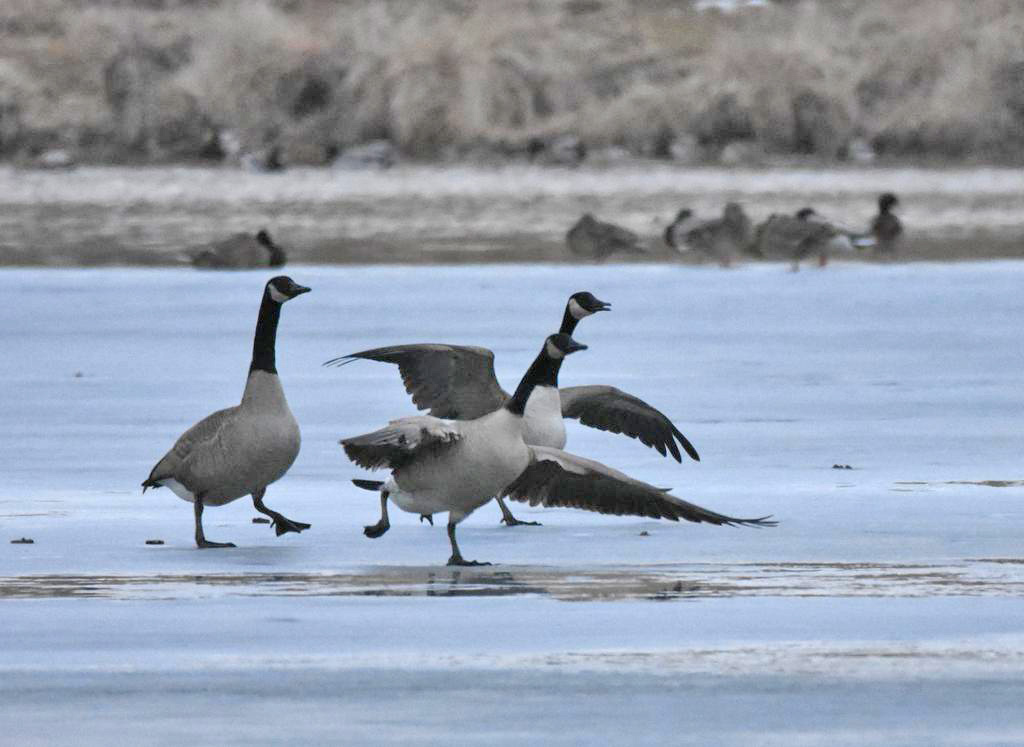 Sharper Focus-geese-take-off.jpg