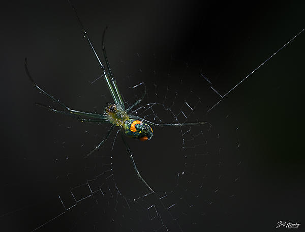 I got this creepy looking gadget in the mail yesterday-orchard-orb-weaver-spider-1500.jpg