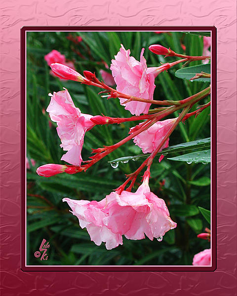 Post your flower pics-oleander.jpg