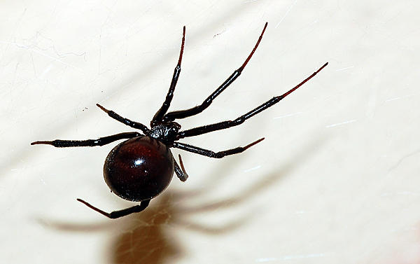 Post your Insect shots-b_widow.jpg