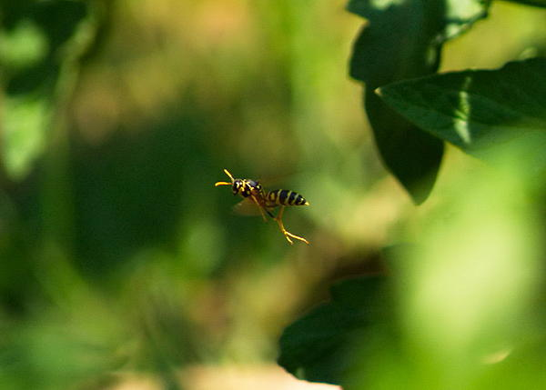 Post your insects in flight photos!-hornet2.jpg