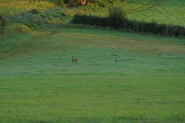 Post your 'ALMOST' Photos..-roe-deer-pheasent.jpg