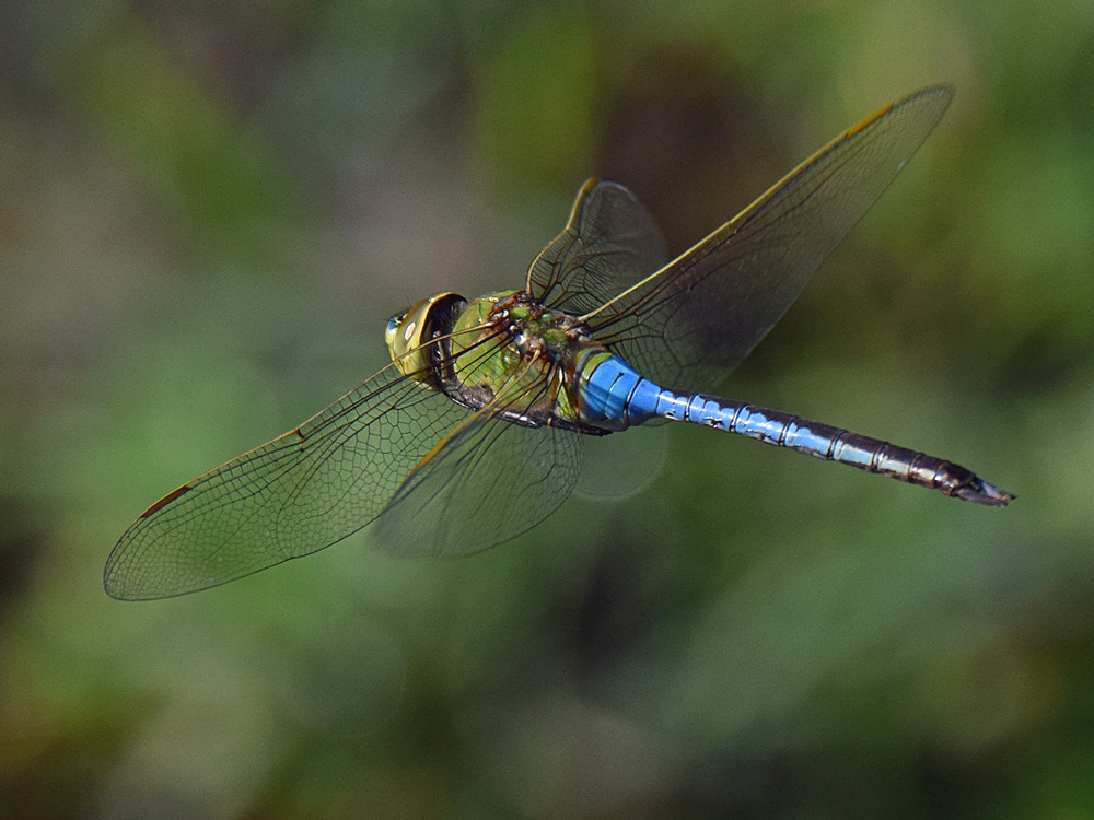 Post your insects in flight photos!-dragonfly3.jpg