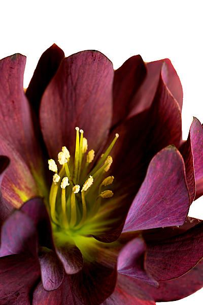 Post your flower pics-hellebores-purple.jpg