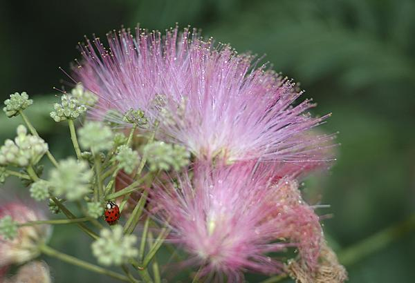 Post your flower pics-ladybug-breakfast.jpg