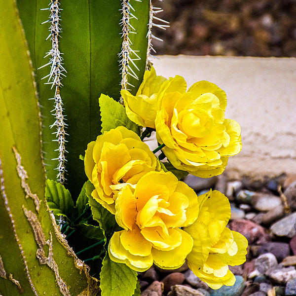Cactus and succulents-dsc_0951.jpg