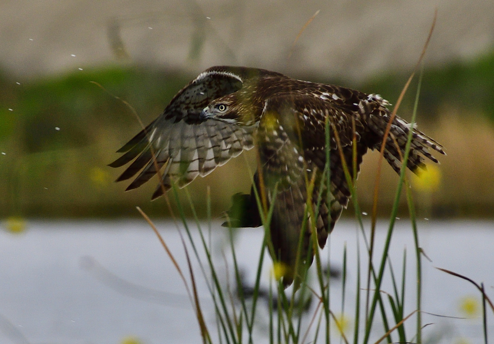 The one that got away, starring a Hawk and a Coot.-_roy3451_00001_01.jpg