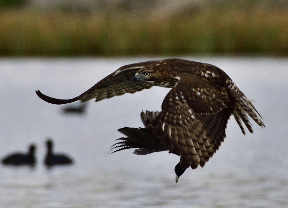 The one that got away, starring a Hawk and a Coot.-_roy3452_00001.jpg
