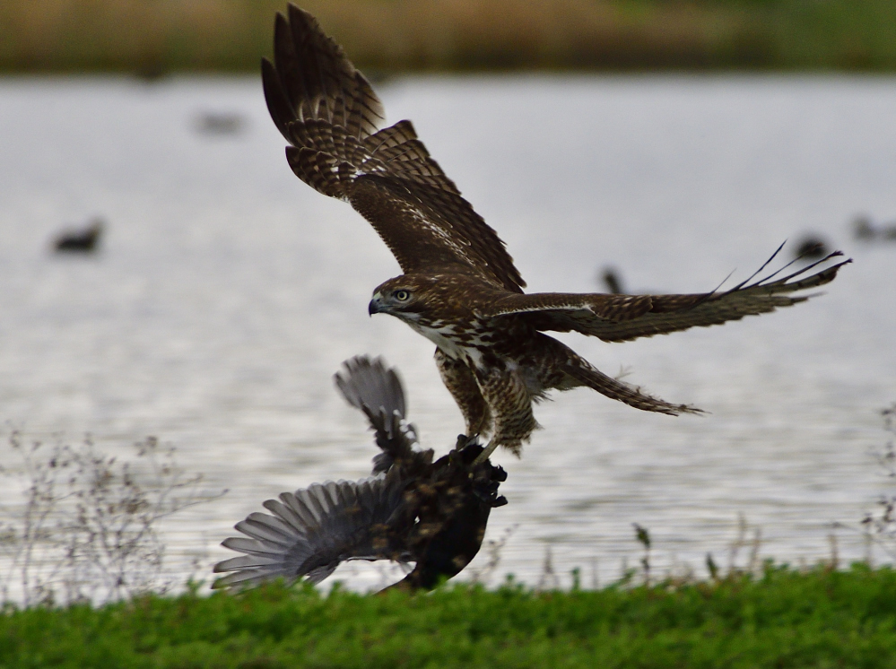 The one that got away, starring a Hawk and a Coot.-_roy3453_00001.jpg