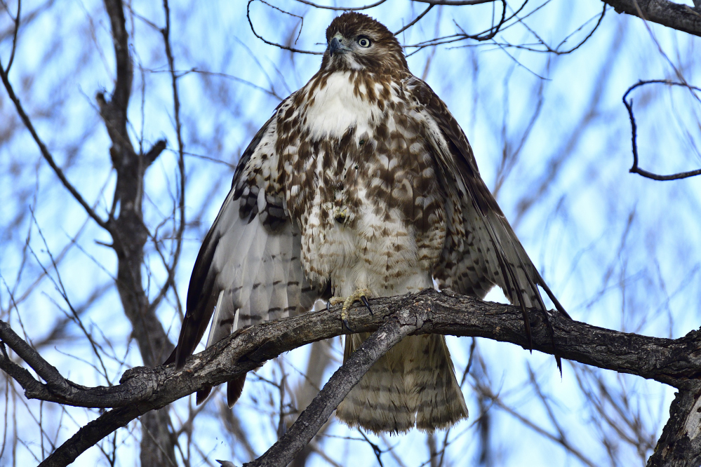 The one that got away, starring a Hawk and a Coot.-_roy3471_00001.jpg