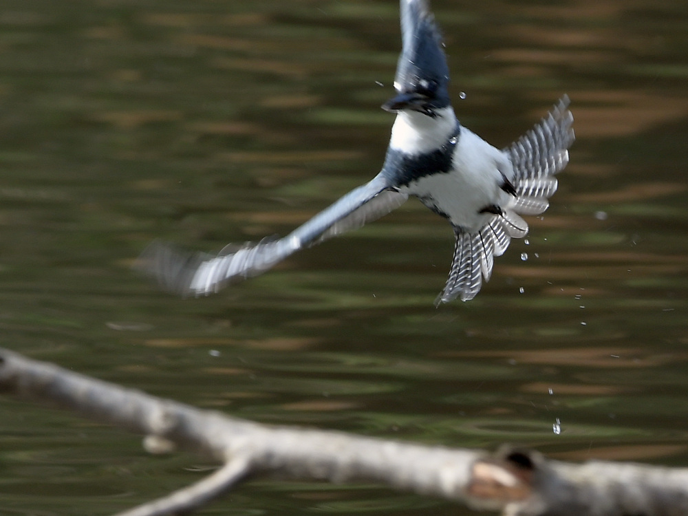 Post your 'ALMOST' Photos..-kingfisher3.jpg