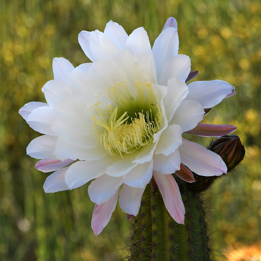 Post your flower pics-cactus2.jpg