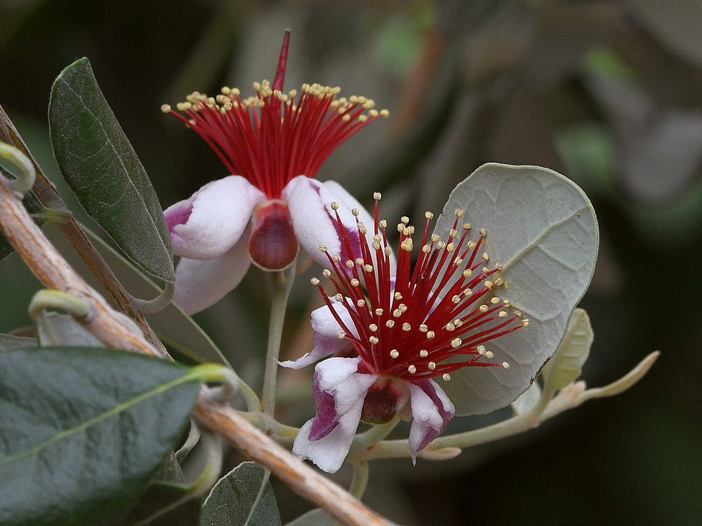 Post your flower pics-guava.jpg