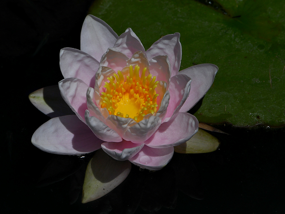Post your flower pics-waterlily3.jpg