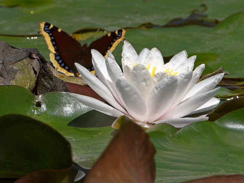 Post your 'ALMOST' Photos..-waterlily4.jpg