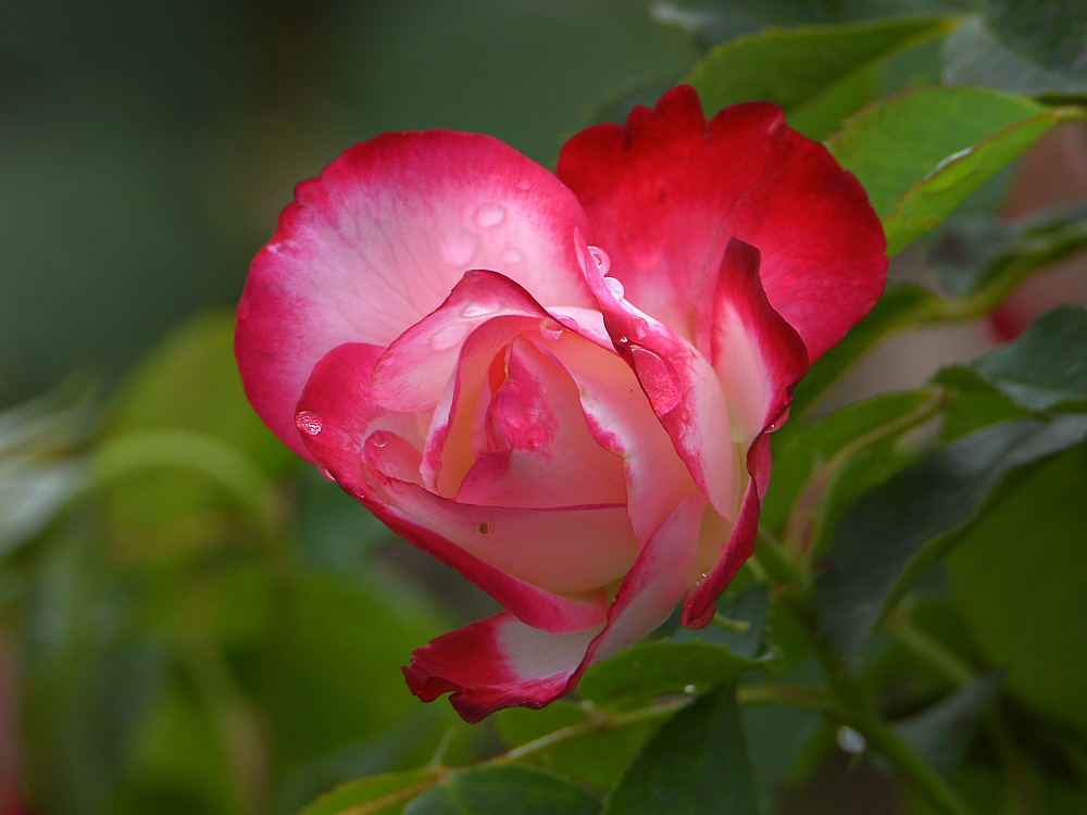Post your flower pics-rose.jpg