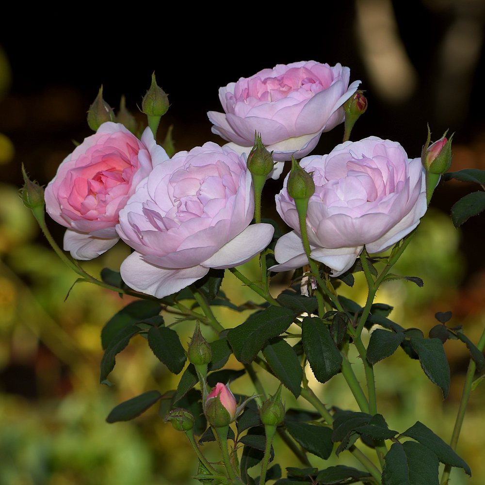 Post your flower pics-roses.jpg