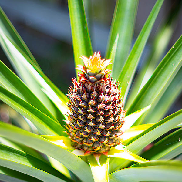Post your Fruit-pineapple2.jpg
