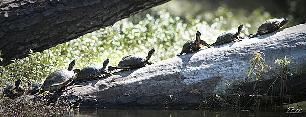 A couple of hours at Brookgreen Gardens-turtles.jpg
