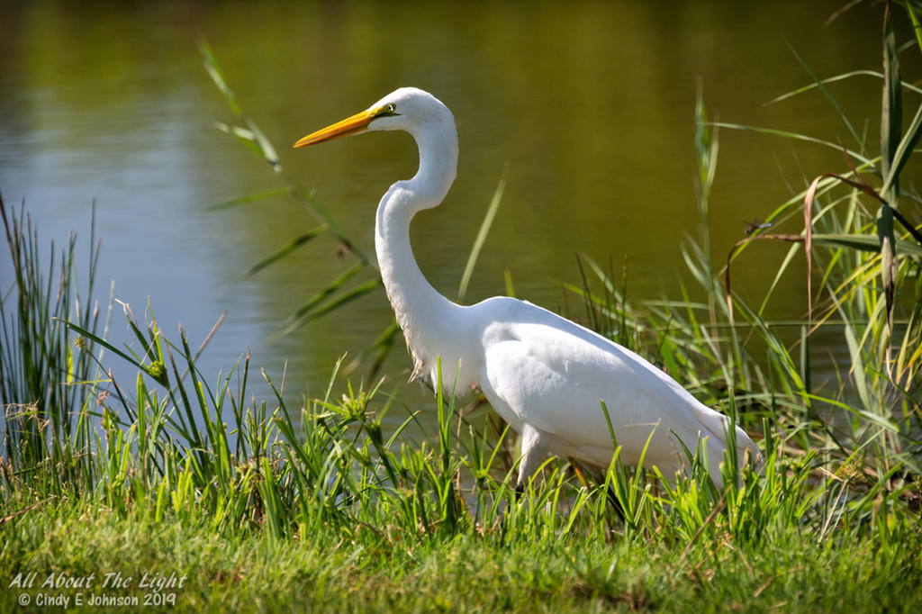 Post your favorite September 2019 shot-egret-2-low-res.jpg
