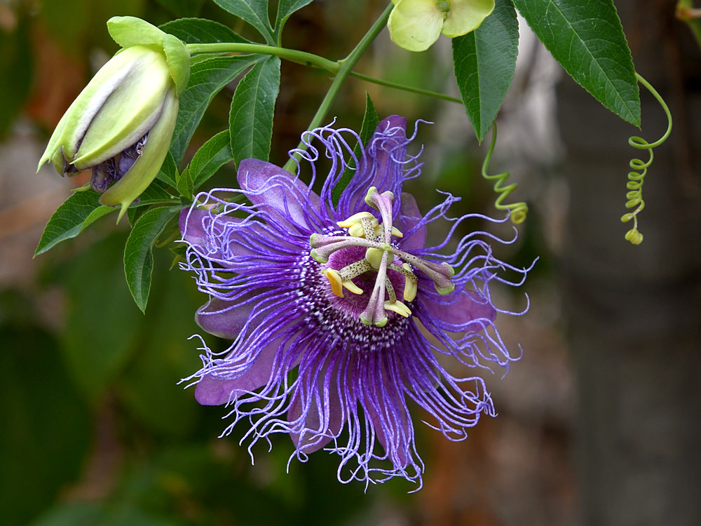 Post your flower pics-passiflora3.jpg