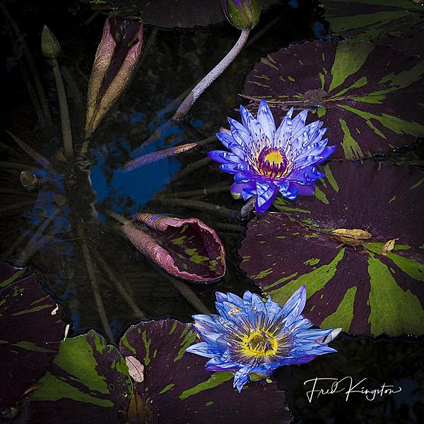 Post your flower pics-waterlily-1.jpg