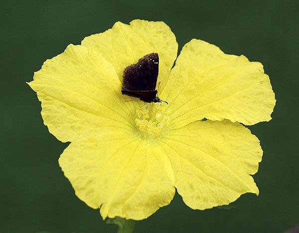 Post your Insect shots-loofa-blossom-bug.jpg