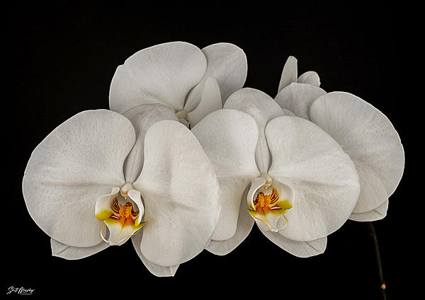 White Orchids-white_orchids.jpg