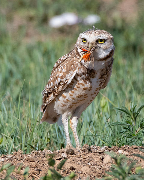Post your favorite May shot 2020-burrowingowl-501.jpg
