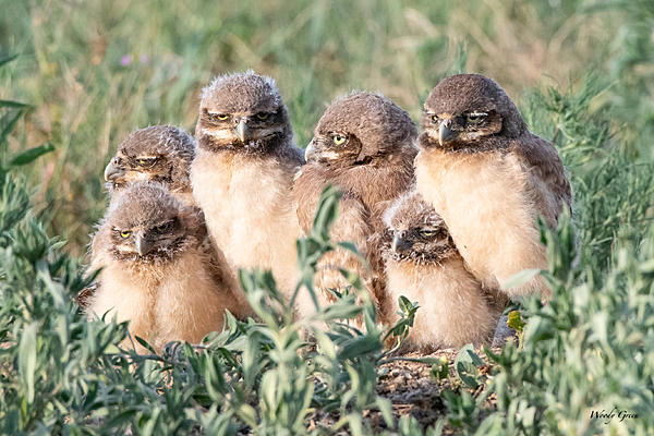 Post your favorite June shot 2020-burrowing-owl-babies-500.jpg