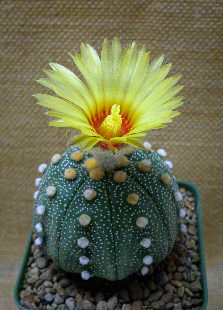 Cactus and succulents-blossom-ype-yellow-1.jpg