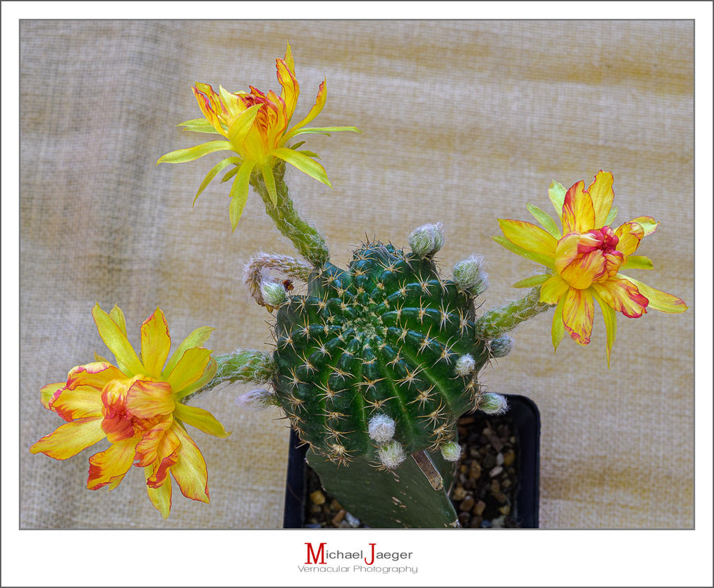 Post your flower pics-blossoms-morning-cactus-1.jpg