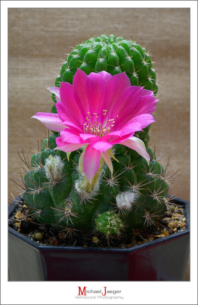 Post your flower pics-blossoms-morning-cactus-2.jpg