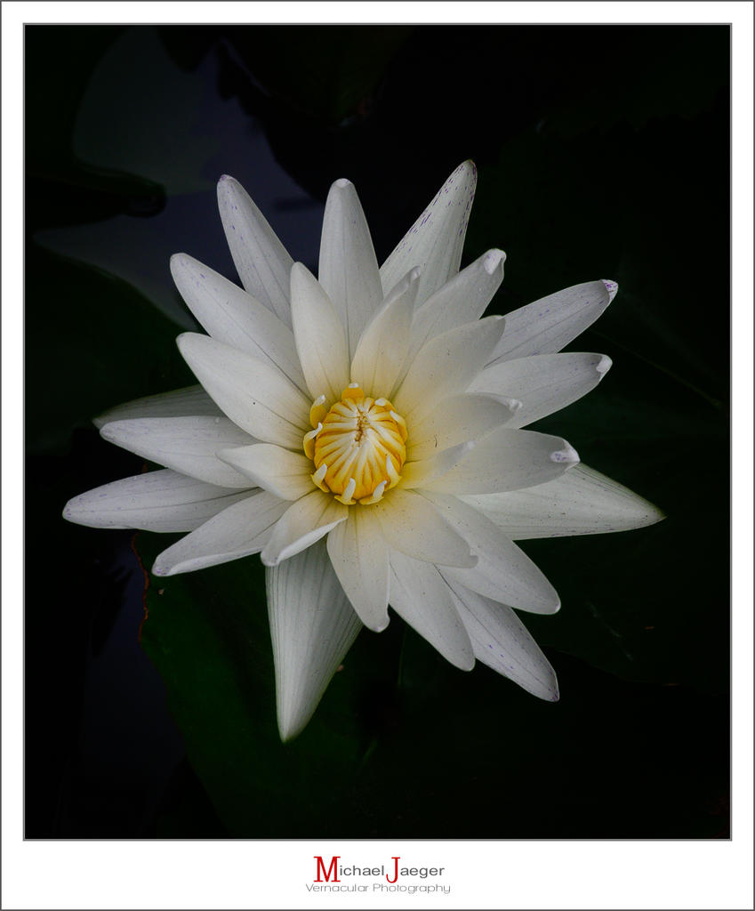 Post your flower pics-white-lotus-1.jpg
