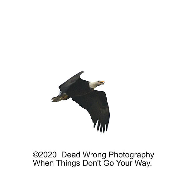 Post your 'ALMOST' Photos..-bald-eagle_5003386.jpg