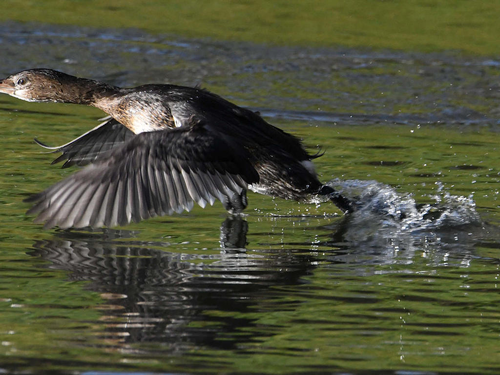 Post your 'ALMOST' Photos..-grebe.jpg