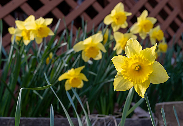 A Yellow photo day-daffodil-front-porch-.jpg