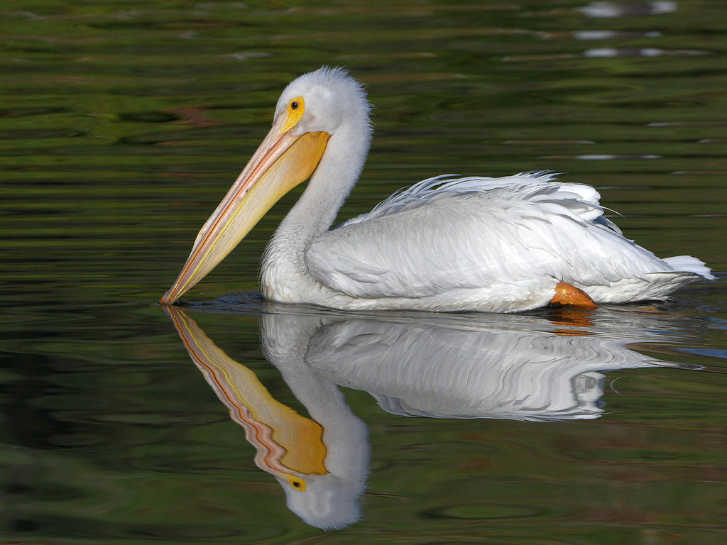 Post your reflection photos-pelican3.jpg