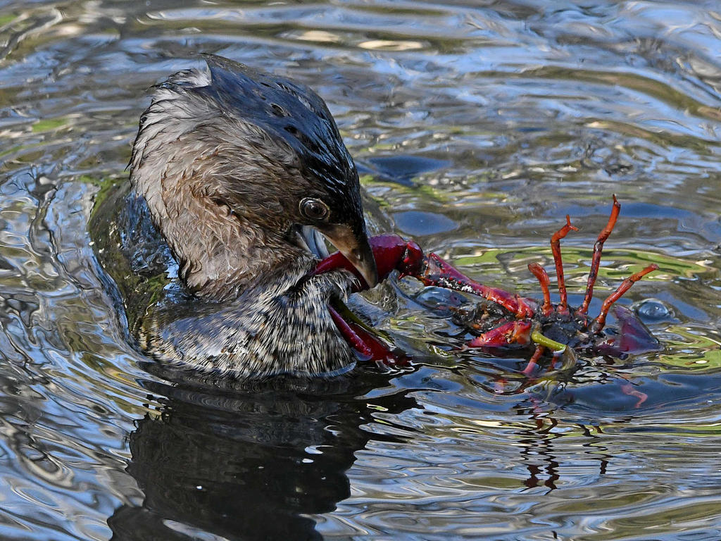 Post your favorite March 2021 shot-grebe6_2021_03_06.jpg
