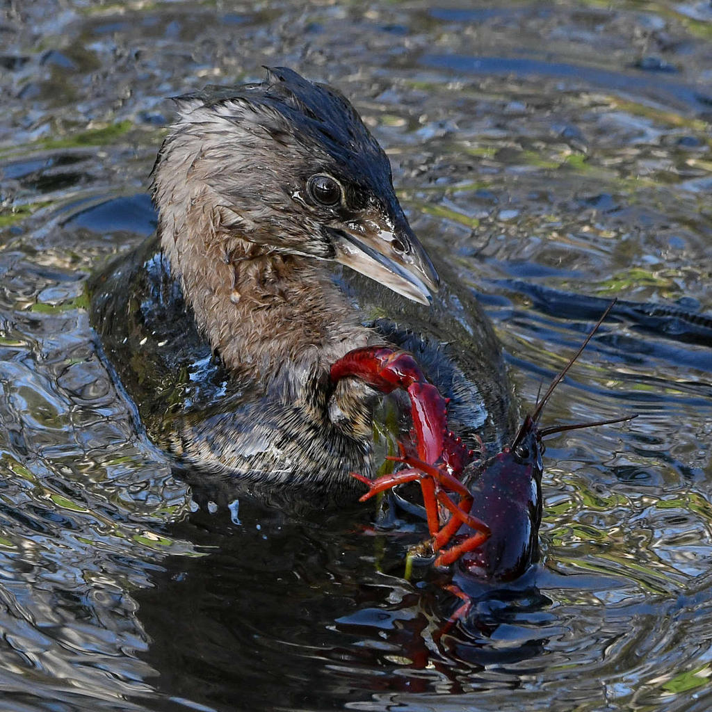 Post your favorite March 2021 shot-grebe10_2021_03_06.jpg