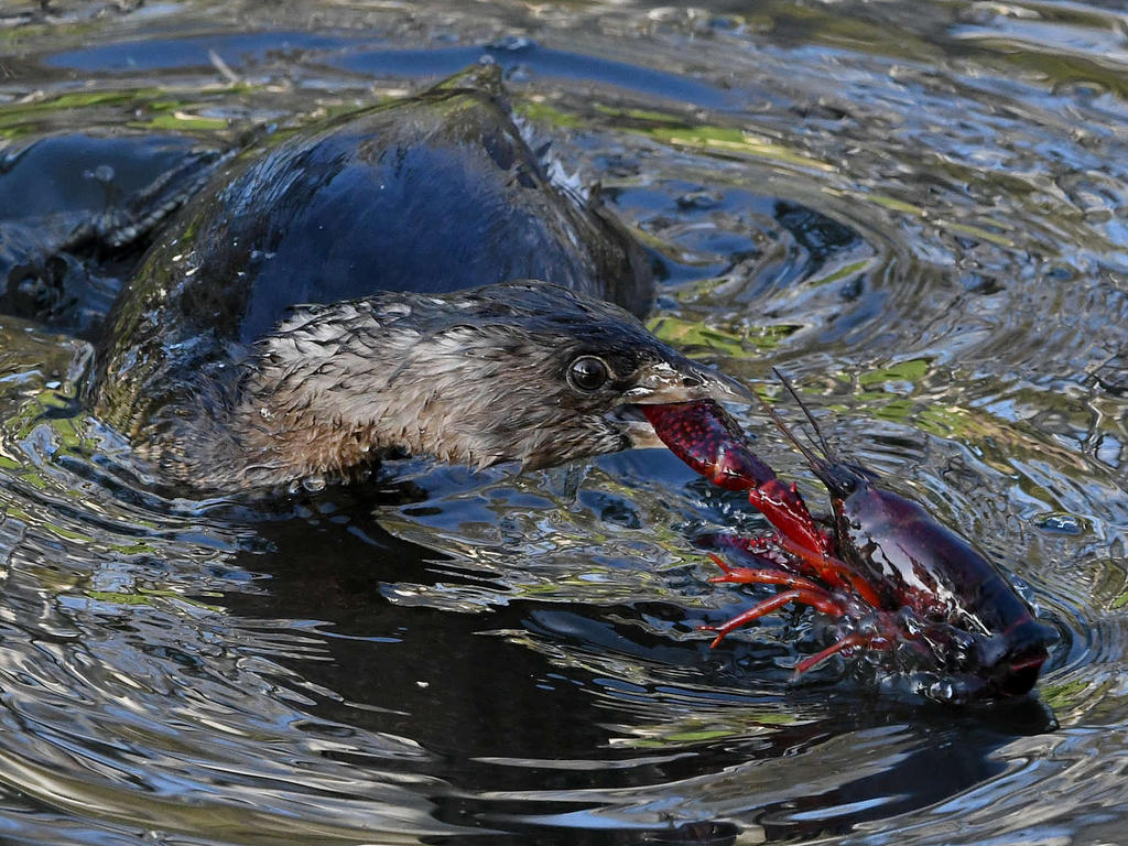 Post your favorite March 2021 shot-grebe13_2021_03_06.jpg
