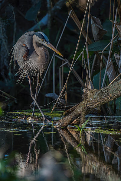 Post your favorite March 2021 shot-great-blue-heron-submerged-log-1.jpg