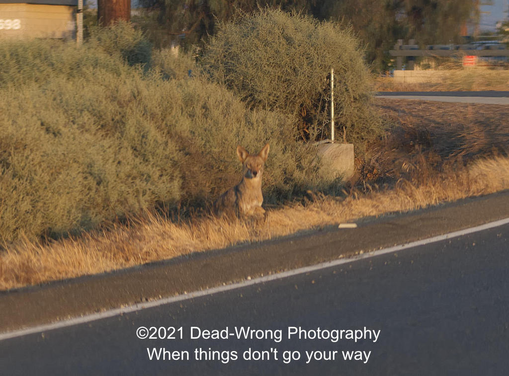 Post your 'ALMOST' Photos..-dead-wrong-coyote_5004746.jpg
